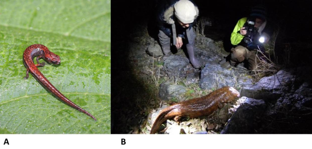 Figure 2: The smallest and largest salamanders in the world