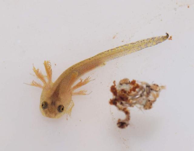Figure 3: Larval salamander
