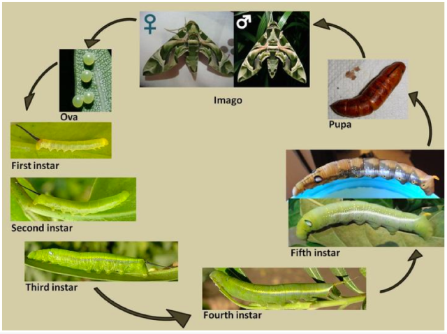 Figure 1 Life cycle of a moth. Image courtesy of Taxo4254