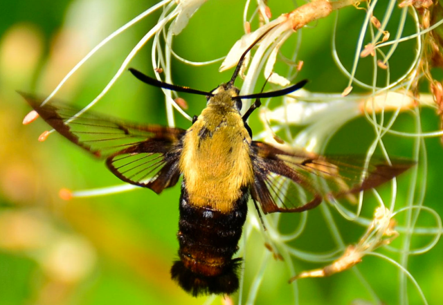 Figure 3 Hummingbird Moth.