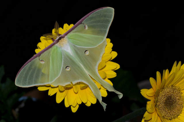 Figure 4 Luna moth. Notice the long tails that help keep it safe from bats. Photo courtesy of Richard F. Liotta.