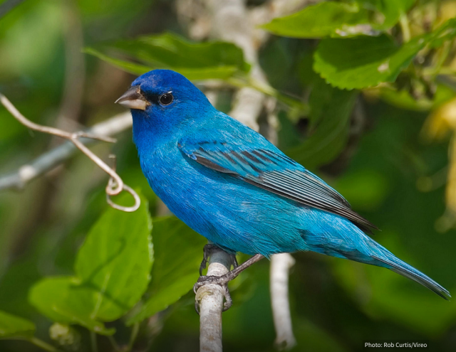 Figure 2: Male Indigo Bunting.