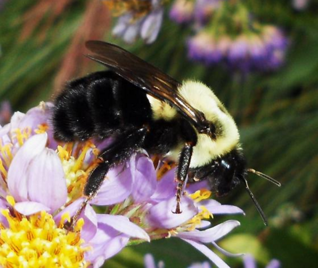 Figure 6: Two-spotted Bumblebee.