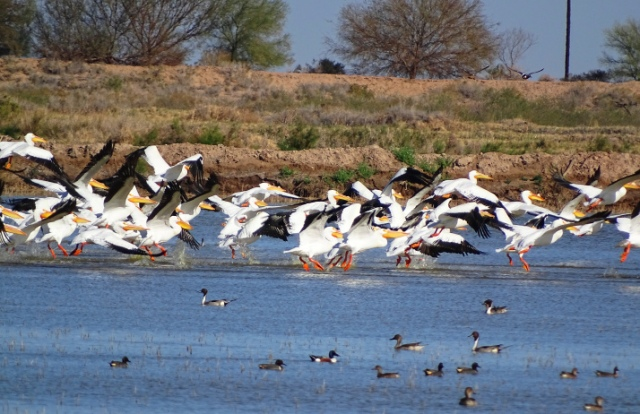 Figure 3: White Pelicans