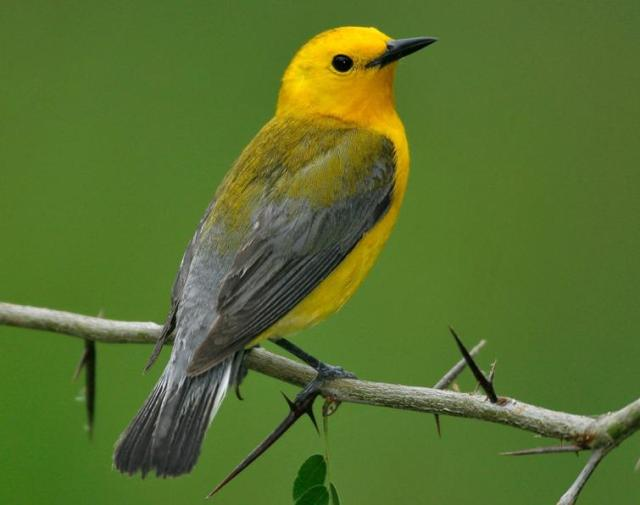 Figure 5: Prothonotary Warbler