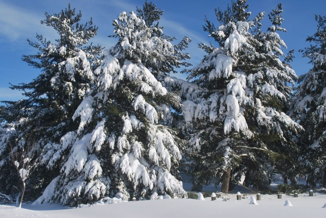 Figure 5: Snow covered evergreens.